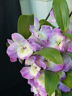 Dendrobium Violet Fizz 'Luna' - Dendrobium Happy Honey x Dendrobium Cassiope