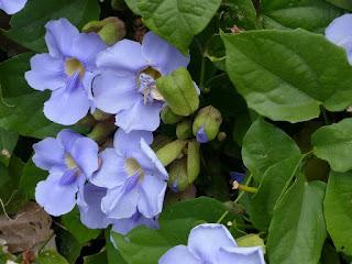 Thunbergie à grandes fleurs - Liane de Chine - Liane mauve - Thunbergia grandiflora