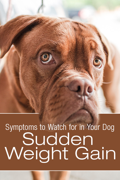 Symptoms to Watch for in Your Dog: Sudden Weight Gain