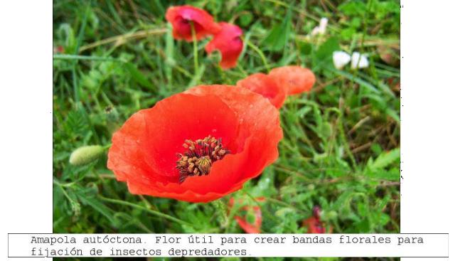 Amapola roja. Flora autóctona de utilidad. Asturias