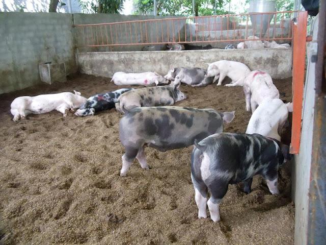 đệm lót sinh học chăn nuôi biogasviet