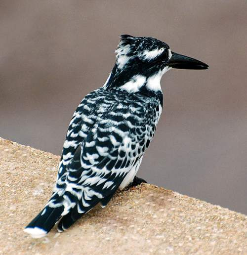 Indian birds - Image of Pied kingfisher - Ceryle rudis