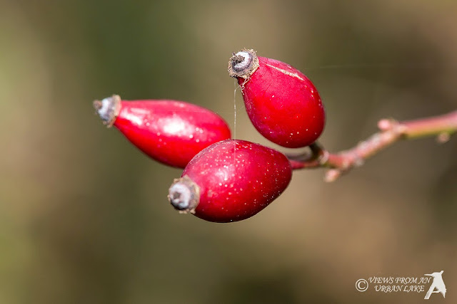 Rose Hip (great to make a syrup for a drink from)