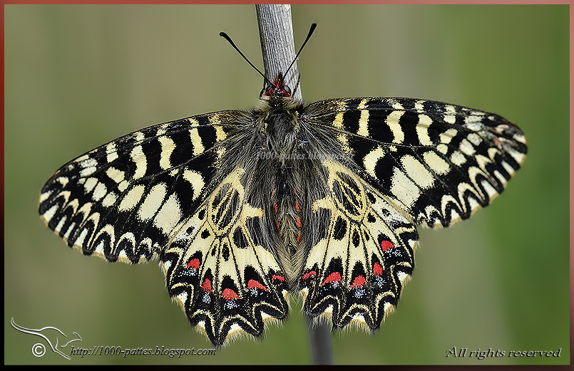 The Southern Festoon butterfly