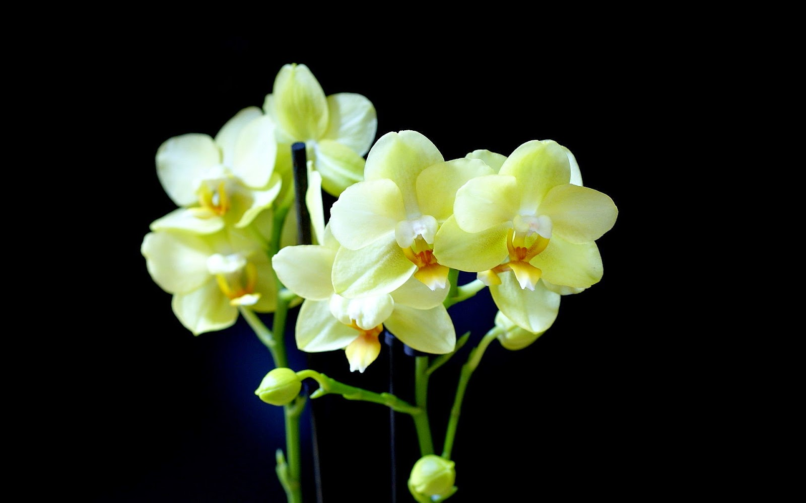 Yellowish-white-orchid-flower-with-black-background-stock-image.jpg