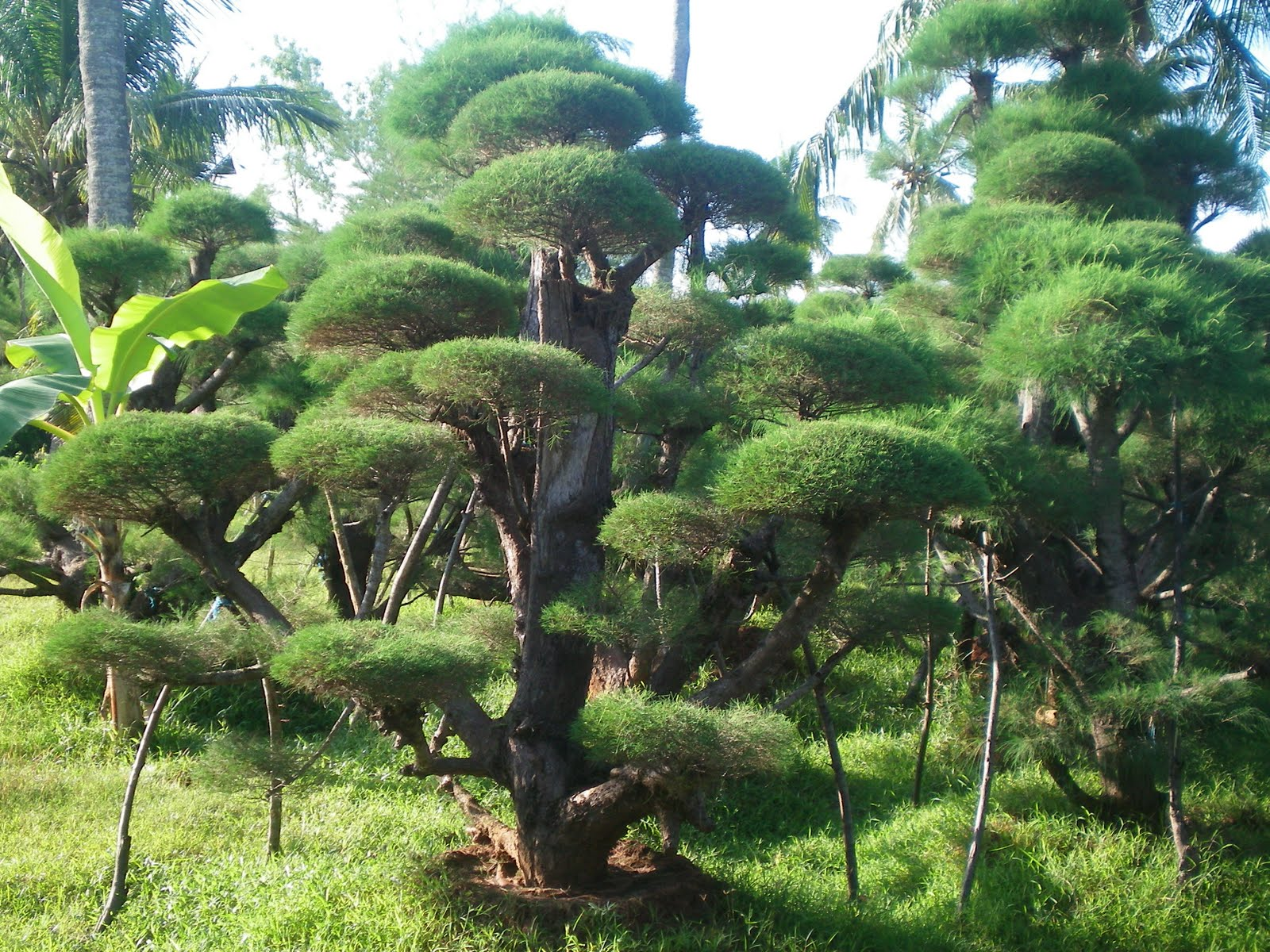 Jual Pohon Cemara Udang Bonsai Harga Cemara Udang Murah Tukang