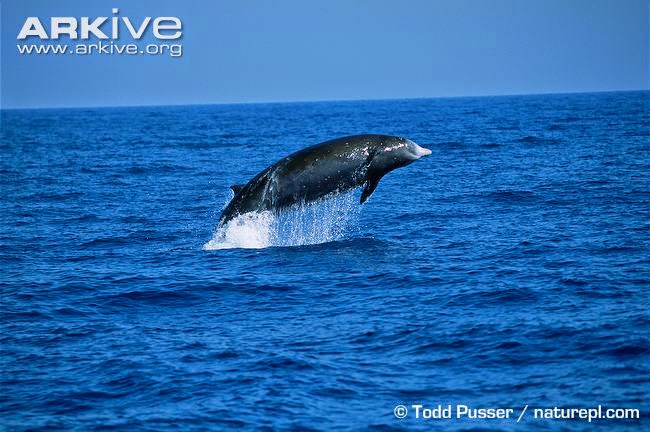 Cuvier´s beaked Whale