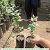 Jual Bibit Pohon Siwak Harga Arab Terjangkau