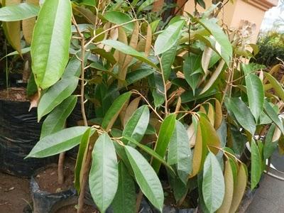 Bibit Durian Gundul Unggul dan Berkualitas