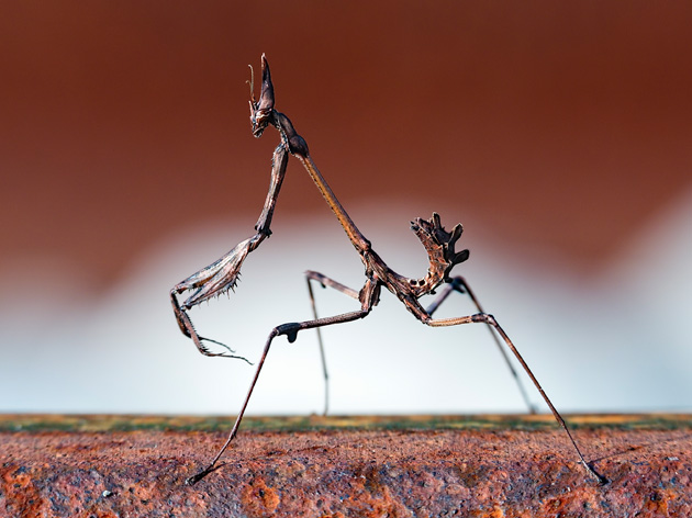 Belalang Mantis (Empusa pennata)