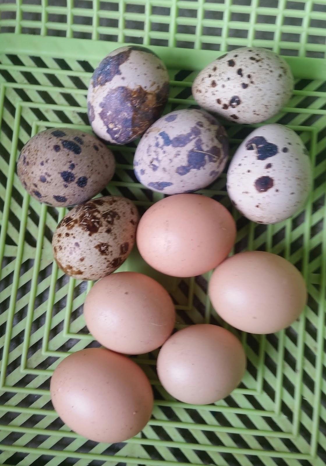 Warisan Petani Telur Ayam Jantan