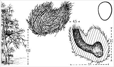 Curutié colorado Certhiaxis cinnamomea