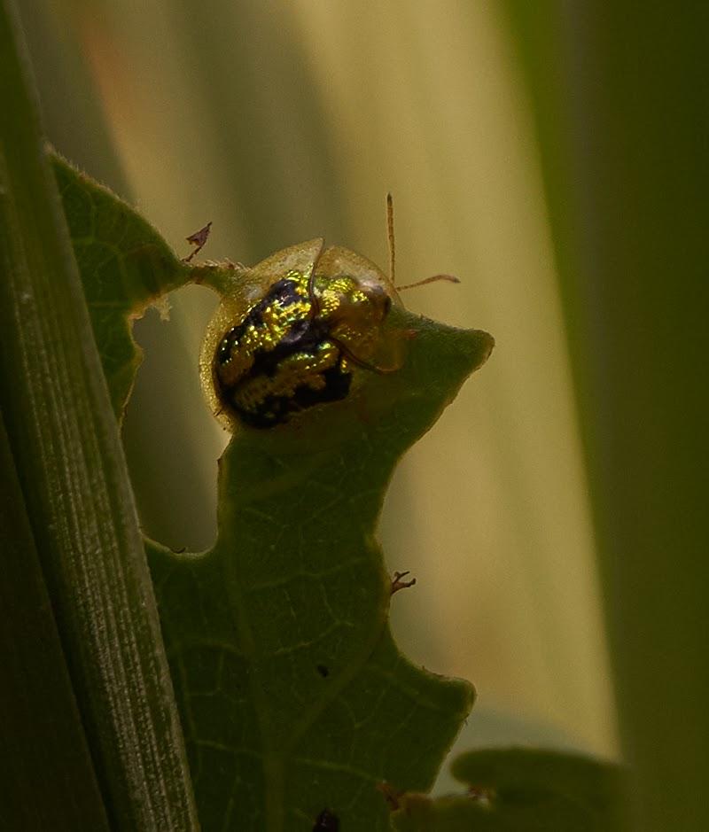 golden tortoise beetle, backlit,into the light,art
