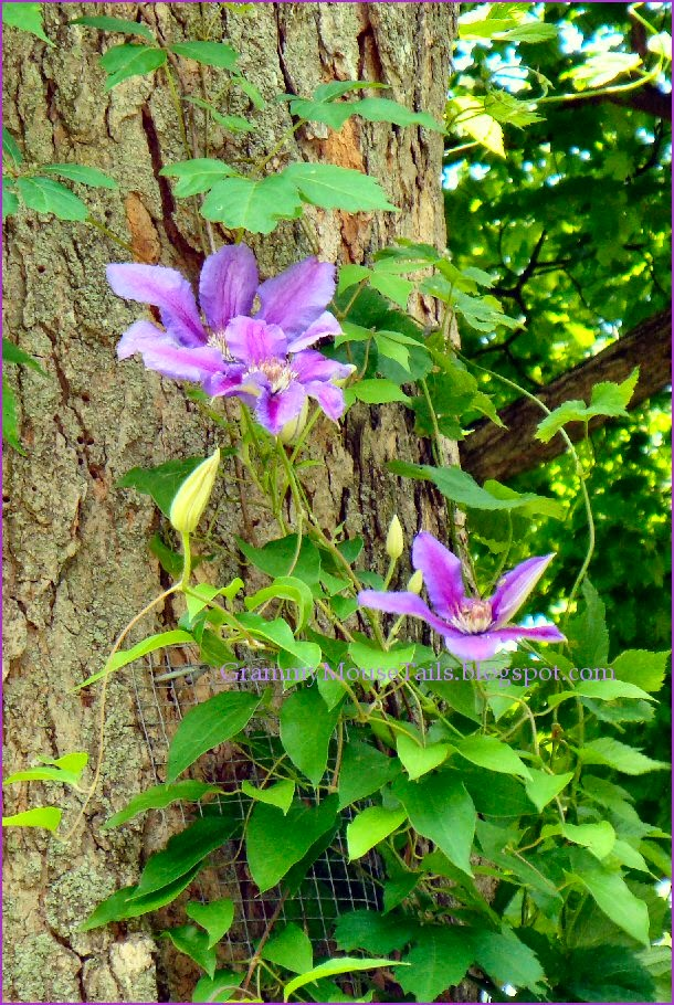 lavender purple bloomers - clematis flowers photo