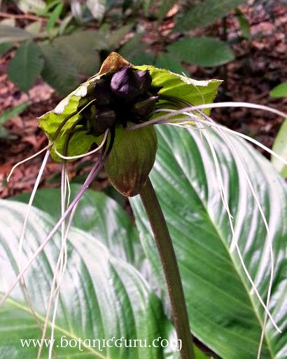 Tacca integrifolia, Black Lily, Purple Bat Flower, White Bat Flower