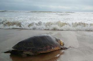 http://vnoticia.com.br/noticia/2210-ambientalista-encontra-tartaruga-morta-na-praia-de-santa-clara-litoral-de-sfi