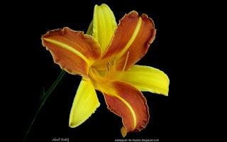 http://fotobabij.blogspot.com/2015/03/liliowiec-frans-halls-kwiat.html