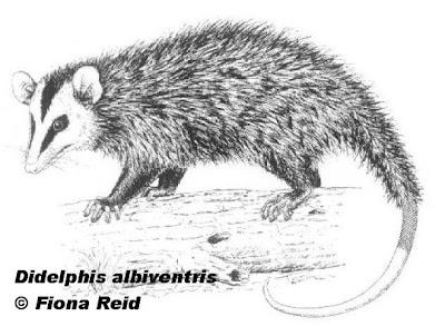 marsupiales de argentina Comadreja overa Didelphis albiventris