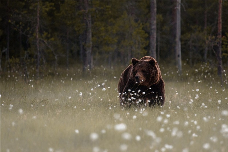 grizzly bear 006