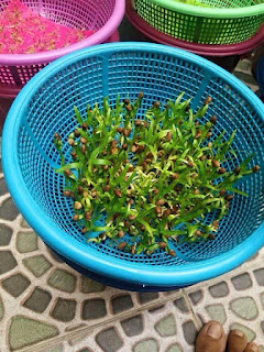 cách trồng rau muống thủy canh tại nhà