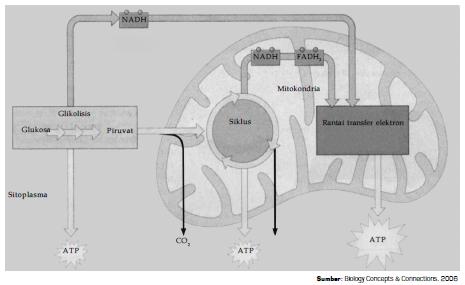 Tahapan dan Bagan Siklus Reaksi Glikolisis, Dekarboksilasi Oksidatif, Daur Asam Sitrat (Siklus Krebs) serta Transfer Elektron Pada Proses Respirasi Aerob