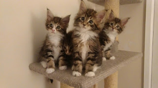Mainecoon cats for sale