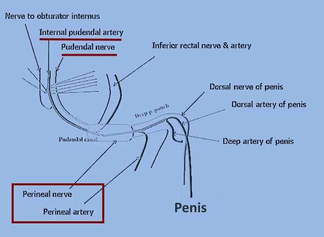 Male external genitalia male urethra