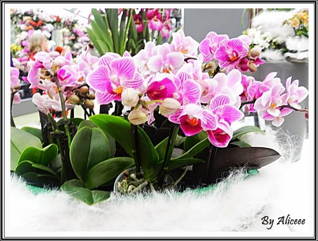 orhidee-roz