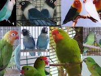 Jenis-Jenis Burung Lovebird