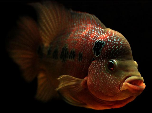 Ikan Hias Air Tawar Termahal Jenis Louhan Golden Red