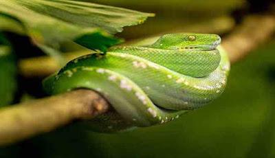 Ular hijau