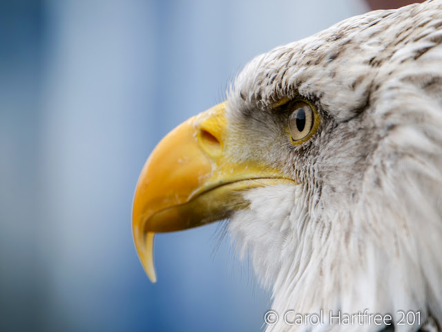 Bald Eagle, taken on a Panasonic Lumix G9 with 100-400mm Leica lens