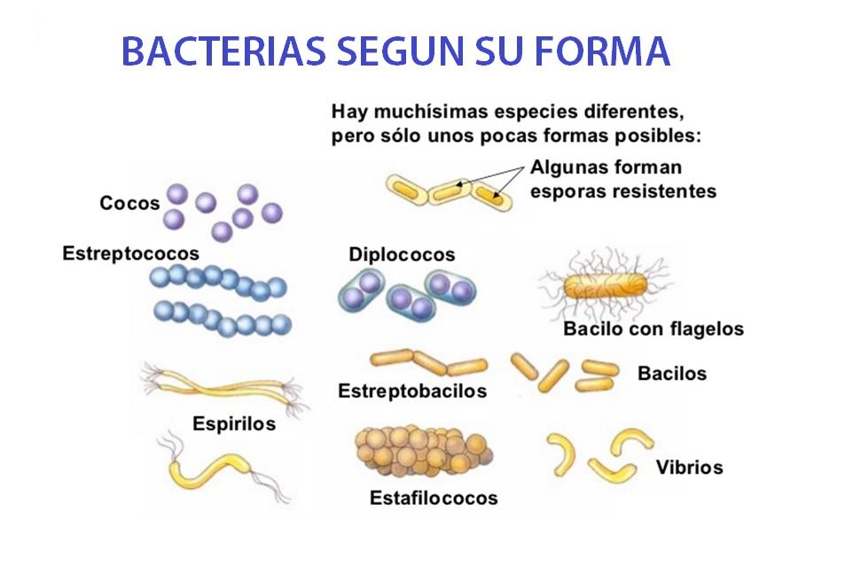 las bacterias de forma