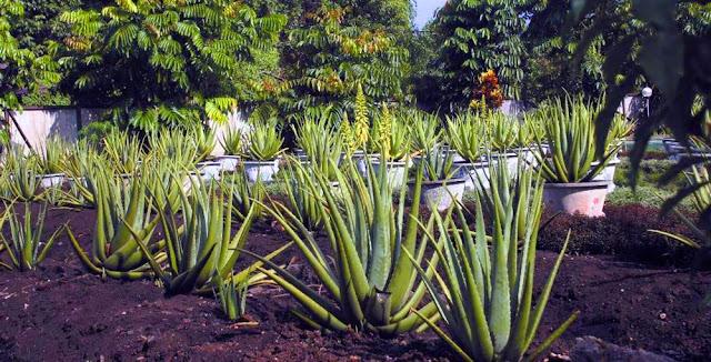 Aloe Vera Center, Agrowisata Lidah Buaya Terfavorit di Pontianak