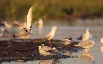 Wallpaper: Gulls, Ducks & Pelicans Birds