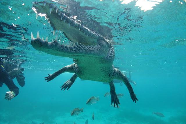Crocodile jaws closeup