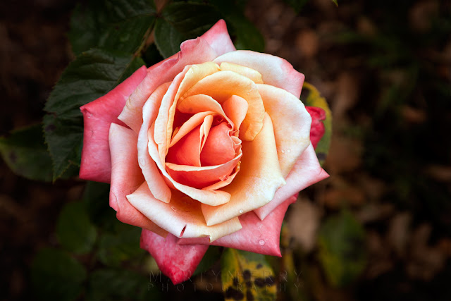 A single rose in the Rose Garden at Blenheim Palace in Woodstock by Martyn Ferry Photography
