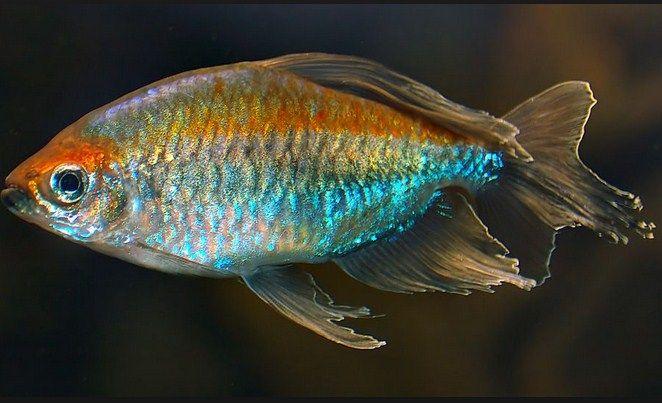 Budidaya Ikan Kongo Tetra