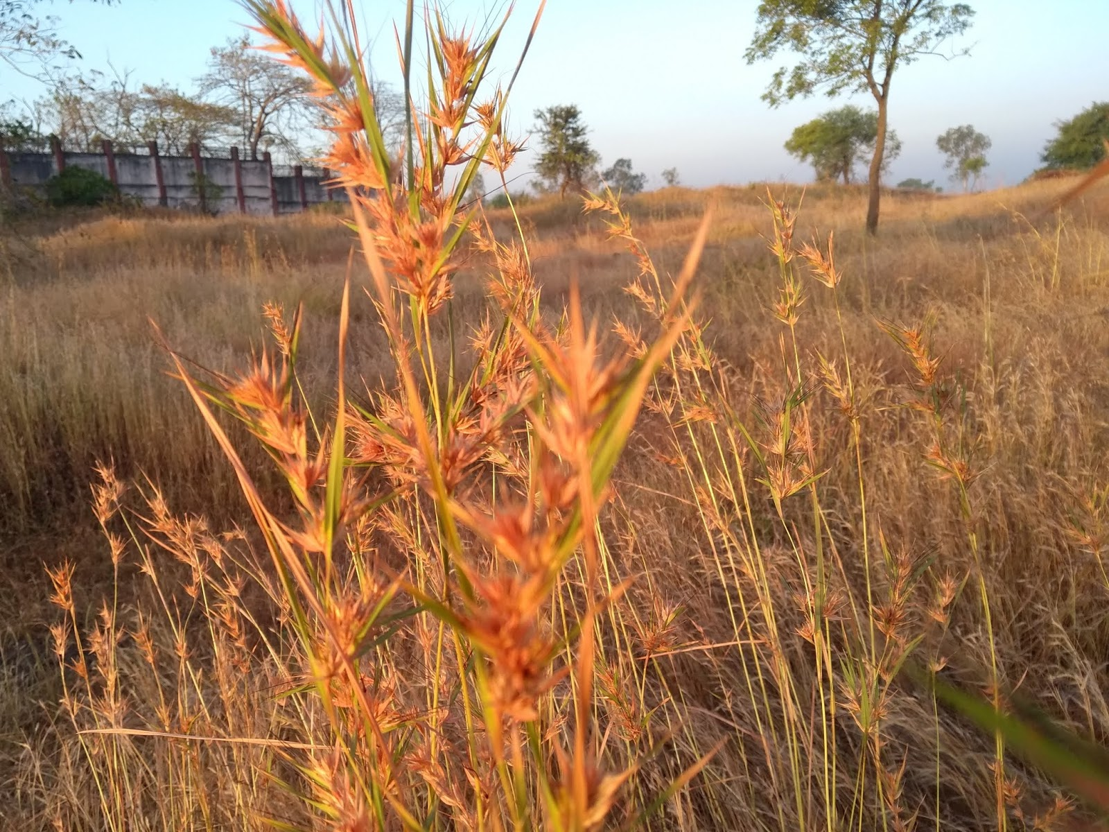 Dry, Annual, Poaceae, Hills
