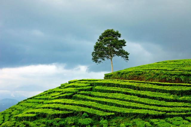 Kebun Teh Gunung Dempo Pagar Alam Sumsel