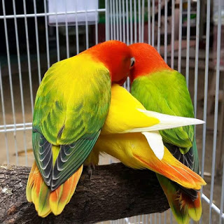 Tips Sukses Ternak Lovebird Lengkap Dengan Perhitungan Pakan