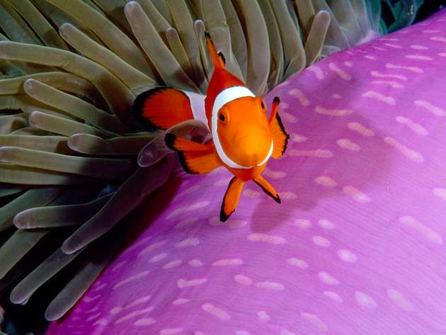 أسماك النعمان (إندونيسيا). الصورة من قبل بول ساذرلاند