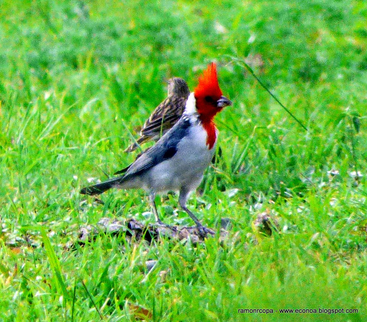 Aves del NOA y algo mas..: Cardenal común(Paroaria coronata)