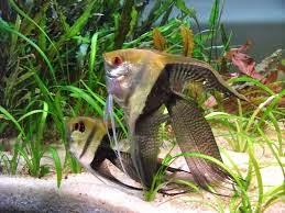 Dunia Ikan Hias - Super Veil Manfish