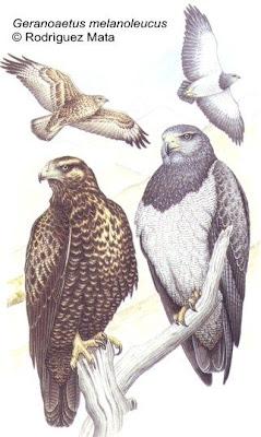 rapaces de Argentina Águila mora Geranoaetus melanoleucus