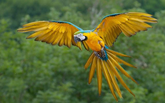 Vliegende papegaai