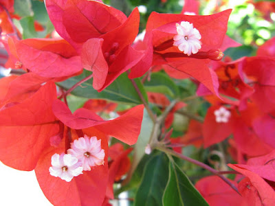 Red bougainvillea bracts white flowers Turks Caicos by garden muses-not another Toronto gardening blog