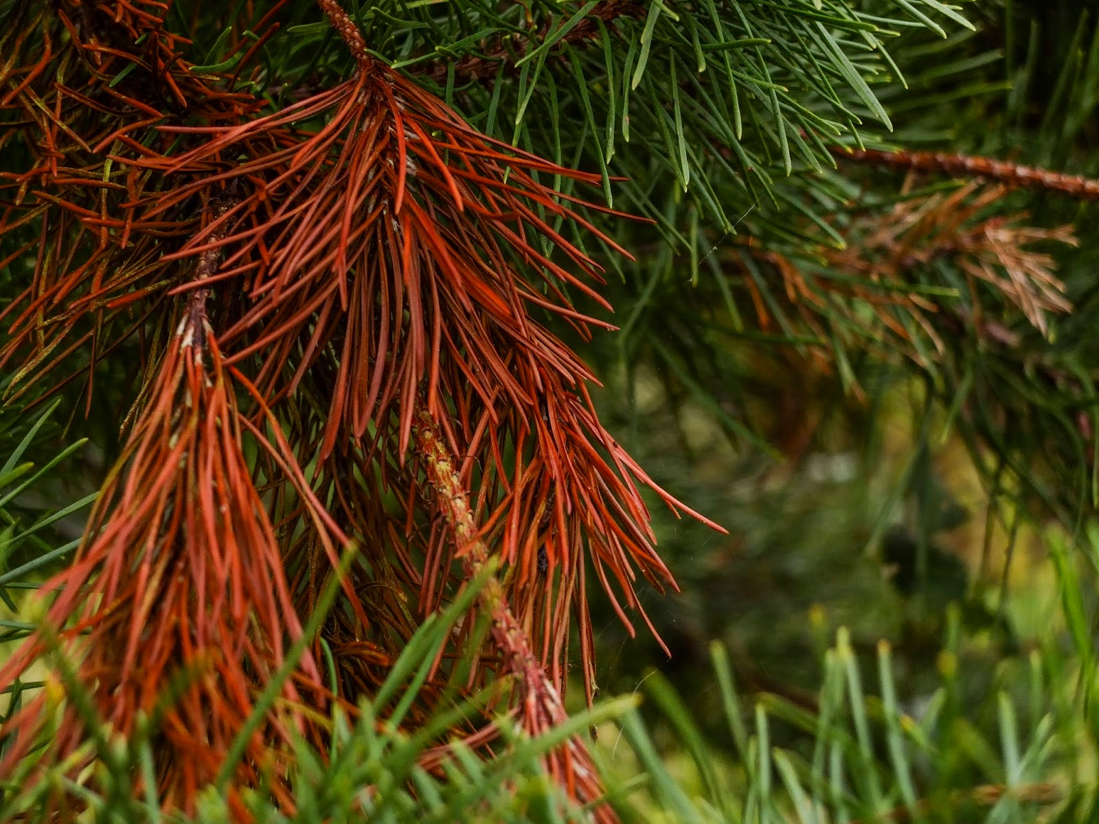 Brown and green pine needles.