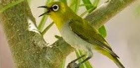 Burung Pleci Montanus.