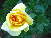 Yellow roses photo flower image